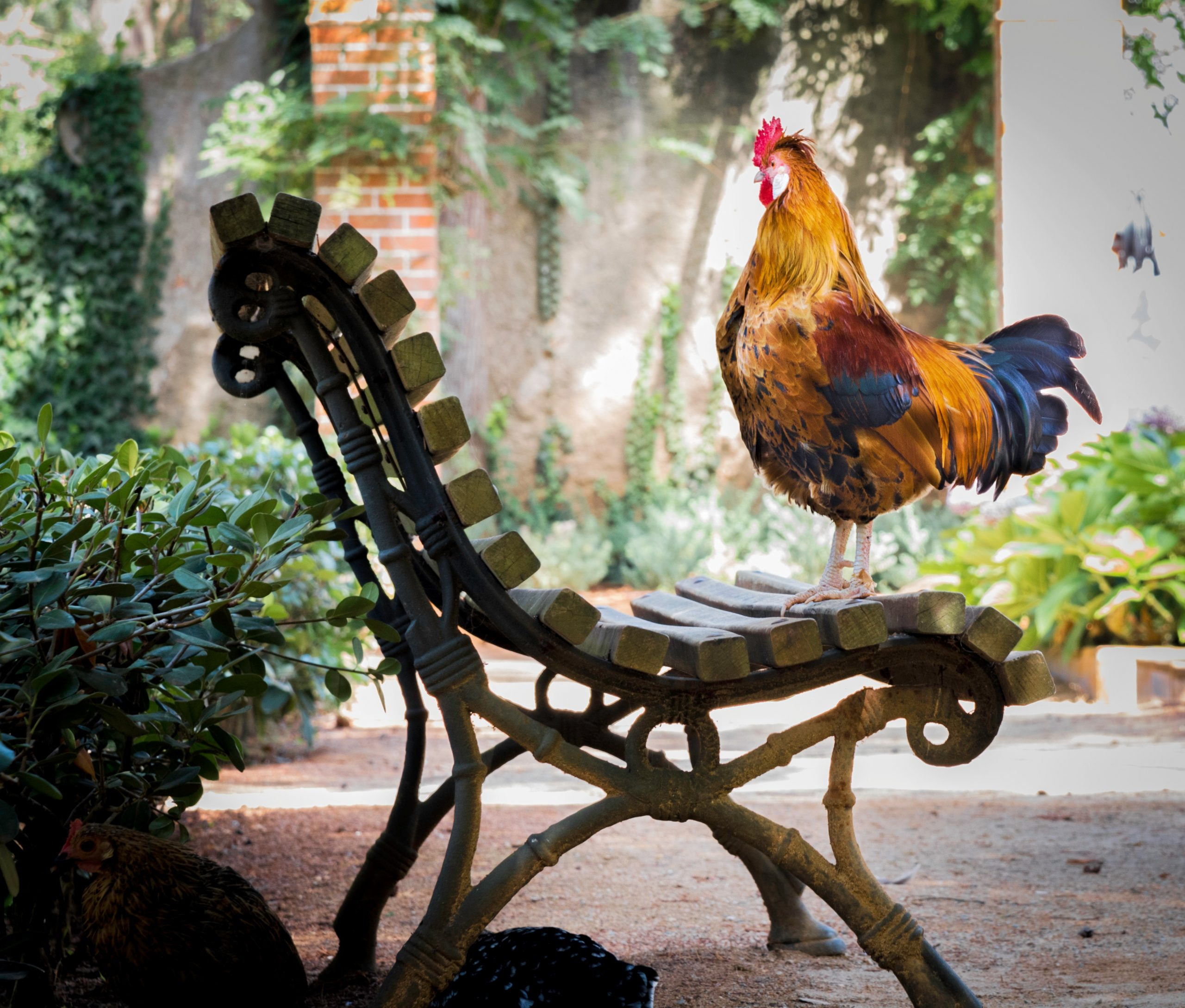 rooster morning